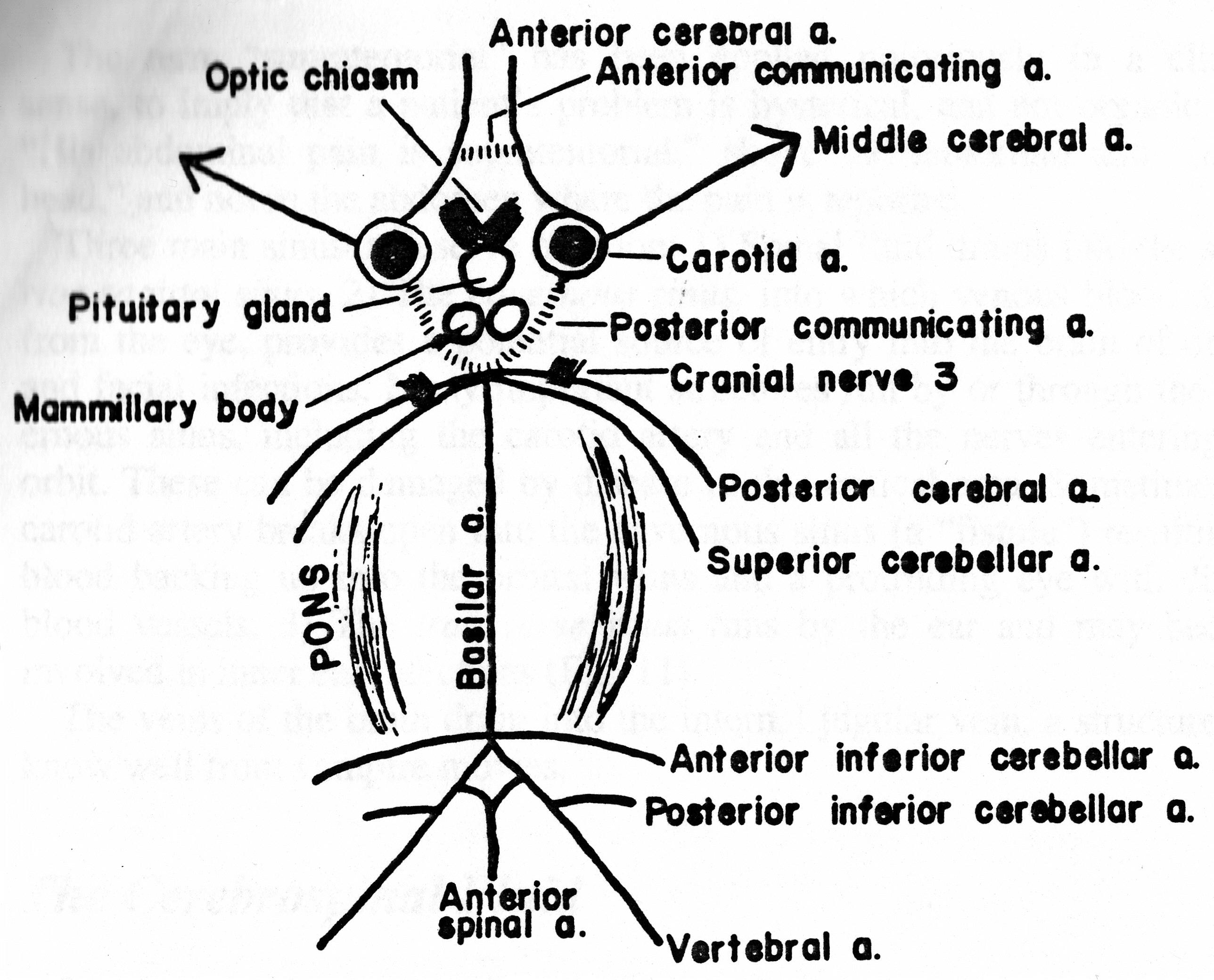 Fine Spider Eye Anatomy Vignette - Human Anatomy Images ...
